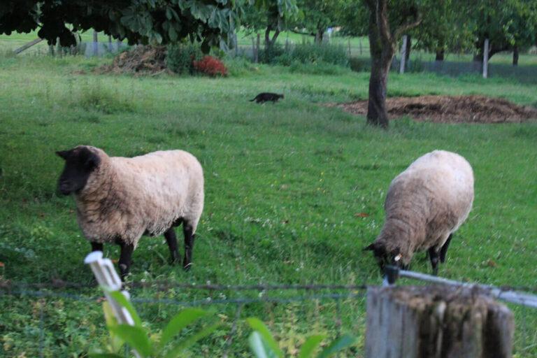 Urlaub im Landhaus - die Schafe vom Nachbarn auf der Weide