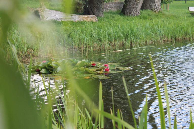 Urlaub im Landhaus - Seerosen im Dorfteich Thandorf